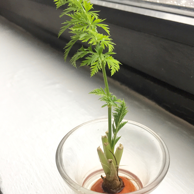 carrot top in a glass container growing on windowsill