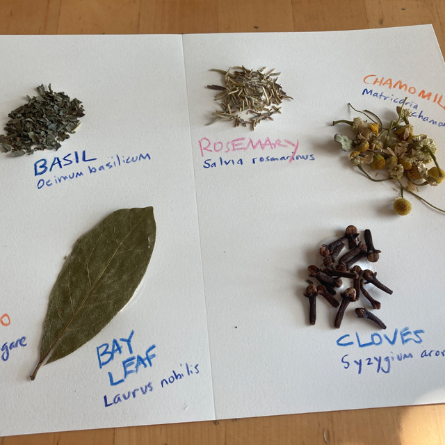 Herbs glued onto paper with common names and botanical names.
