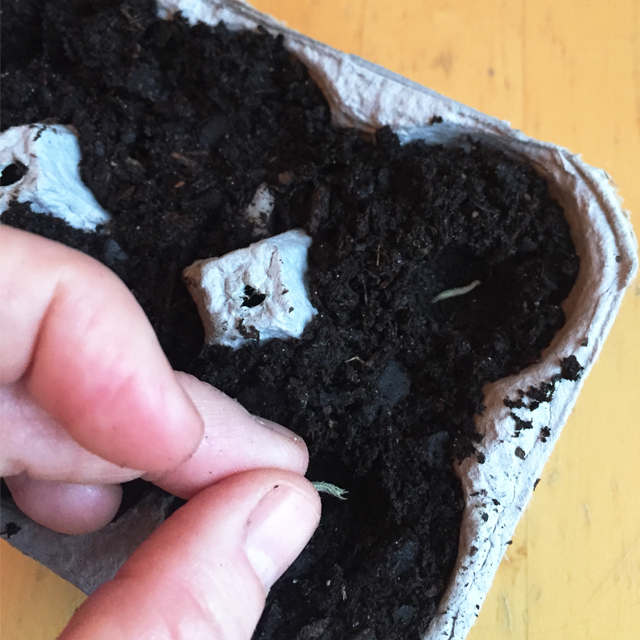 planting seeds in egg carton with soil