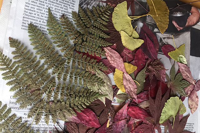 Pressed plants laid out on a newspaper, including ferns and leaves.