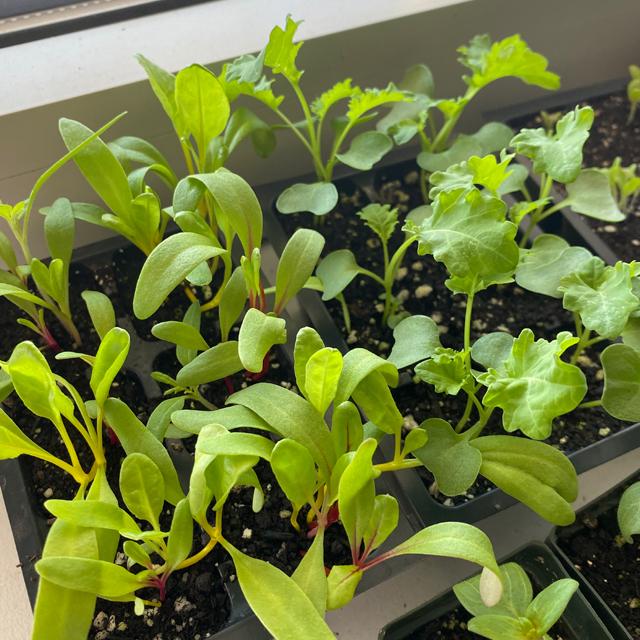 seedlings growing on a windowsill