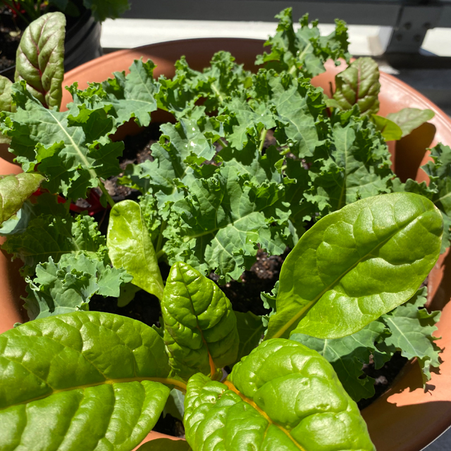 Chard, kale and greens growing in a pot