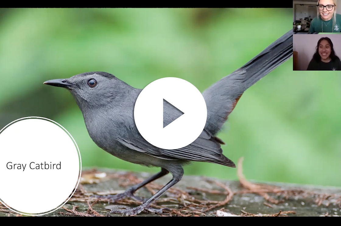 Screen shot of a grey cartbird, as part of a video lesson about birds by Emily and Ashley