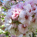 Prunus x sieboldii Peak Bloom