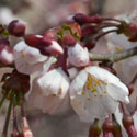 Prunus subhirtella First Bloom