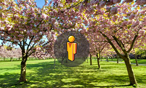 Virtual tour of Cherry Esplanade and Cherry Walk at Brooklyn Botanic Garden
