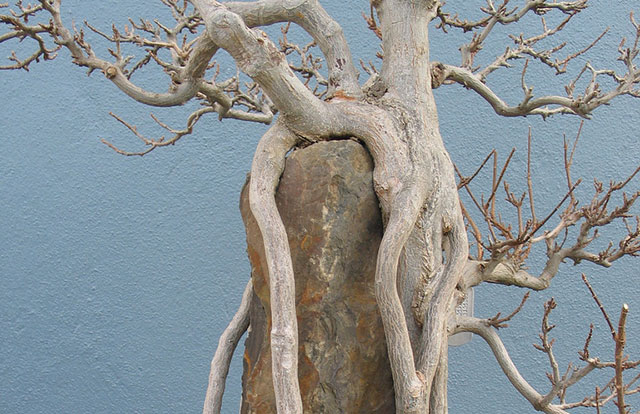 Acer buergerianum Root over Rock