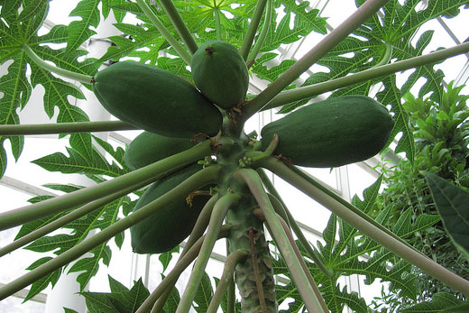 Papaya tree in the tropical conservatory