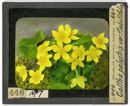 Caltha palustris lantern slide