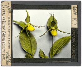 Cypripedium parviflorum var. pubescens lantern slide