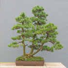 Fall Bonsai Seminar: Bonsai Forest/Group Planting