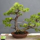 Fall Bonsai Seminar: Pine Bonsai