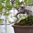The Art of Bonsai: Practice and Appreciation
