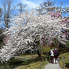 Hanami Guided Tour: Flowering Cherries and Other Spring Blooms