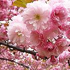 Sakura Matsuri 2015