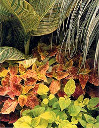 A garden of cannas, coleus and ornamental grass.