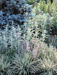 Silver, gray and blue foliage.