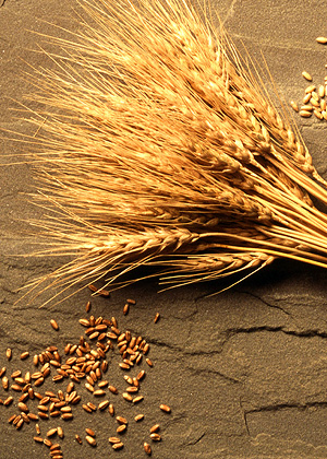 Wheat is one of 15 plant species that comprise 90 percent of all food crops.