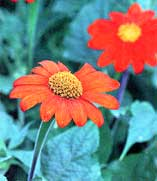 Tithonia rotundifolia, Mexican sunflower.