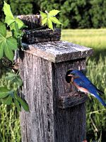 A nest box provides a post for both an Eastern Bluebird and a Virginia creeper vine.