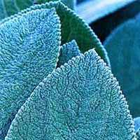 Fuzzy leaves are one sign that a plant is drought-tolerant.
