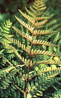 Dryopteris erythrosora, autumn fern, showing bright red sori