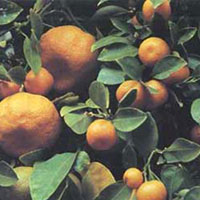 Dwarf citrus trees suited to growing indoors produce standard-size fruit.