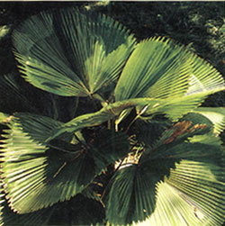 Licuala grandis, ruffled fan palm.