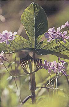 Blue phlox and North American native jack-in-the-pulpit, Arisaema triphyllum