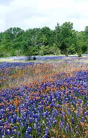 Bluebonnets and Indian paintbrush in a Texas meadow.