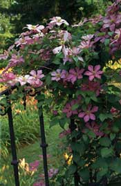 Most perennial vines, such as Clematis 'Comtesse de Bouchaud', need regular pruning to keep them healthy, productive, and under control.