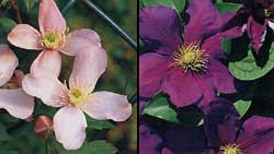 When to prune Clematis depends on what type it is. Prune Clematis montana var. rubens, left, after flowering. Prune Clematis 'General Sikorski', right, lightly in winter.