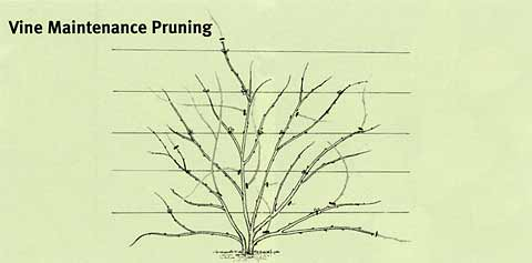 vine maintenance pruning