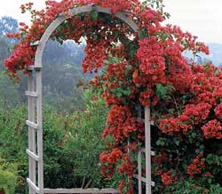 Pruning mature vines such as this Bougainvillea can be difficult because their long stems become tangled. Don't be tempted to yank. Instead prune stems section by section.