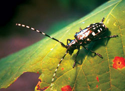 The Asian longhorned beetle.