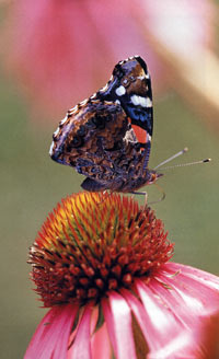 North American coneflower and a Painted Lady butterfly.