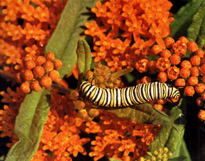 Monarch butterflies and  native milkweeds