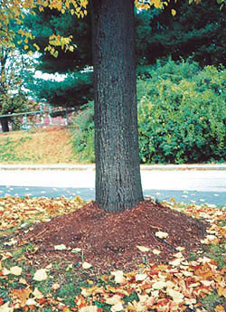 An example of volcanic mulching around a tree.