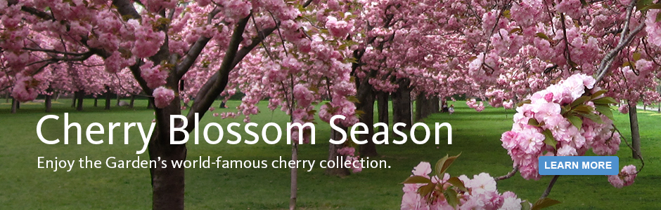 Cherry blossom season at BBG