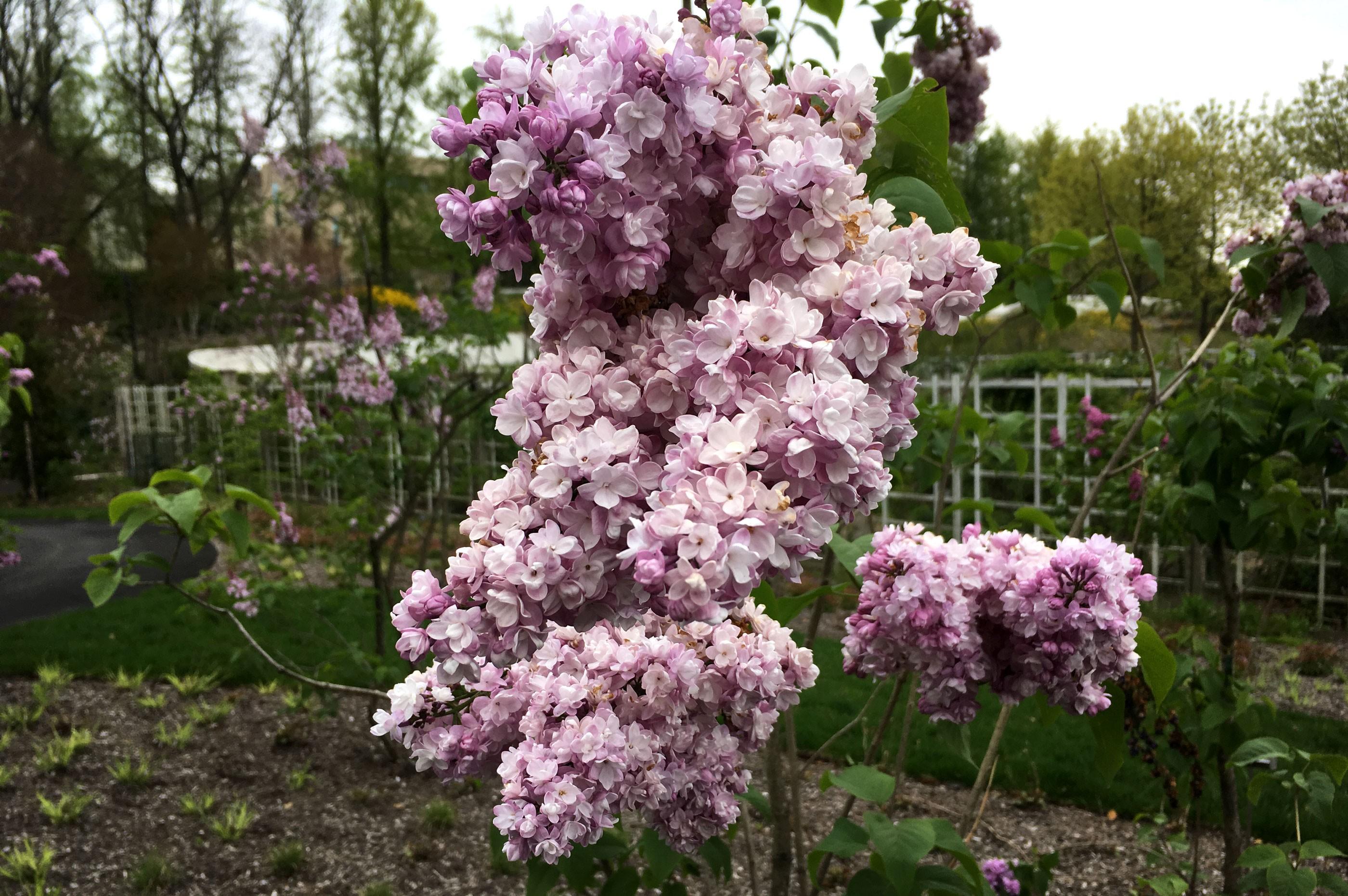Brooklyn Botanic Garden Cherry Blossoms