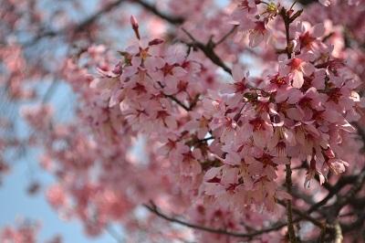 Spring at Last! Hanami (Cherry Blossom Season) Begins at BBG