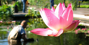 A lily in the Lily Pond