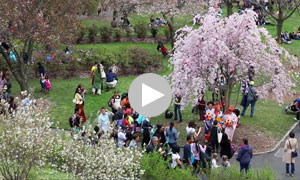 Video of 2014 Sakura Matsuri